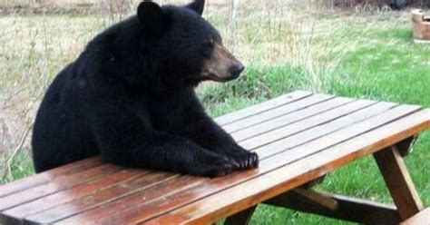Bear At Picnic Table Meme - pin by whale girl98 on hilarious animals pinterest