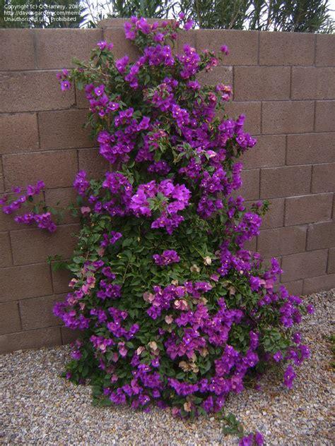 plantfiles pictures bougainvillea majestic purple