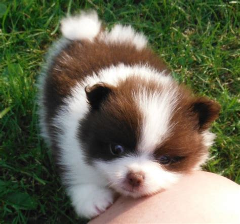 colored pomeranian puppies chocolate parti pomeranian breeds picture