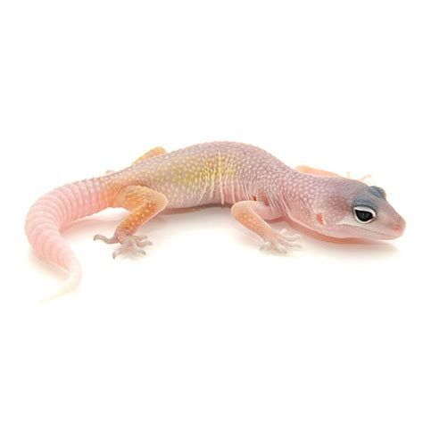 Gecko Heat L by Buy Blizzard Leopard Geckos For Sale With Same Day