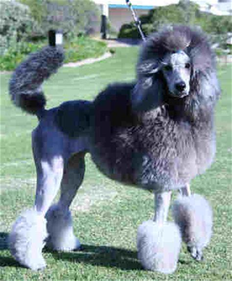 french puddle hair cut standard poodles in south africa