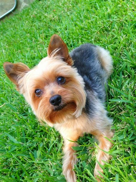 yorkie playpen 1596 best images about terriers on