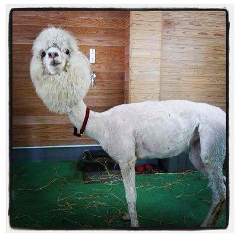 Shaved Llama Meme - pin shaven llama funny alpaca have you seen a shaved 7