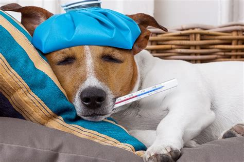 do dogs get colds do dogs get colds everything you need to 171 laurelwood animal hospital