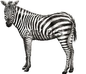 zebra sticker for ios android giphy