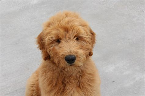 goldendoodle puppy names goldendoodle puppy placed