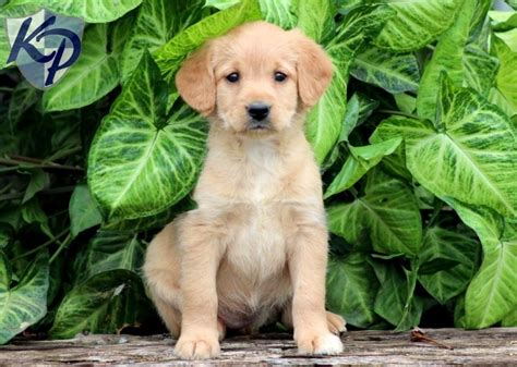 doodle labs 17 best images about mini labradoodle puppies on