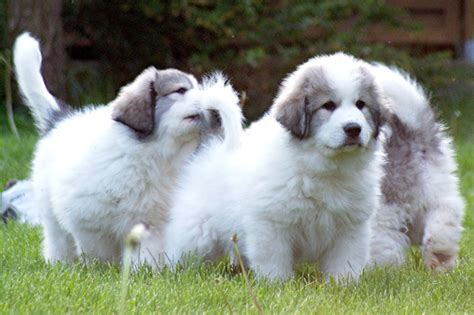 pyrenean mountain puppies pyrenean mountain puppies for sale