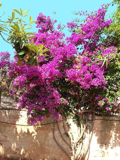el jardin de flor baja quehagoyoaqui es c 243 mo cultivar bugambilia en nuestro jard 237 n o huerto