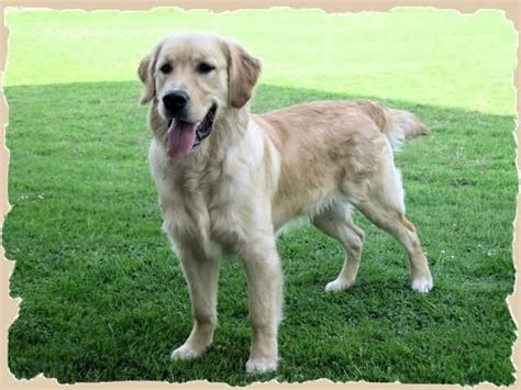 golden retriever forums golden retriever allevamento goldenmania cuccioli golden retriever