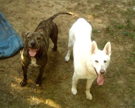 strayxand8dogs stray x and 8 dogs httpanimalnewsflash blogspot darling pit bull mix befriends a stray dog and brings him