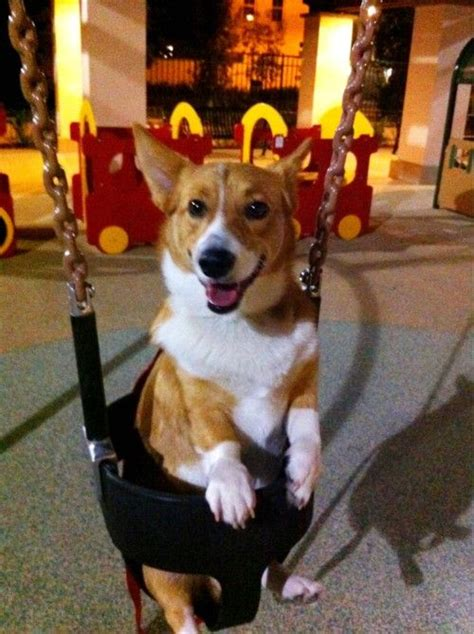 The Queens Corgis Omg He S So Cute And In A Swing Corgi Pinterest