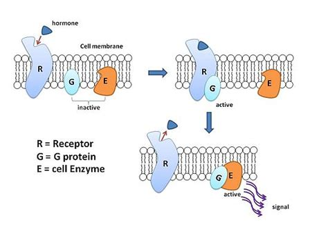 g protein diagram structural biochemistry cell signaling pathways g proteins