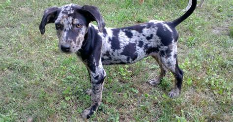 puppies for sale in louisiana louisiana catahoula leopard puppies for sale breeds picture