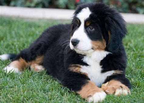 big puppies big breeds with breeds puppies