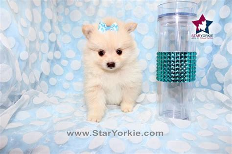 pomeranians heaven pictures for teacup puppies heaven in los angeles ca 90048