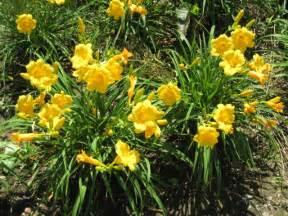 Daylilies The Beauty Of Daylilies Blumen Gardens
