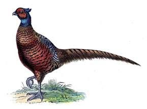 req pheasant graphicsfairy1 the graphics fairy