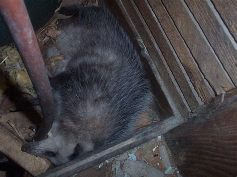 dead animal in the chimney what to do stuck in chimney