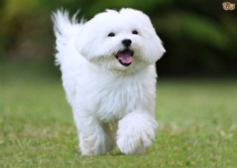 maltese puppies maltese breed information buying advice photos and facts pets4homes