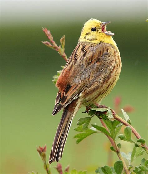 alabama yellowhammer birds pinterest