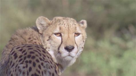 Turns Cheetah by Cheetah Turning Looking At And Walking Away Stock