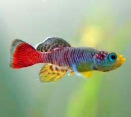 most colorful freshwater fish most beautiful freshwater fish gallery