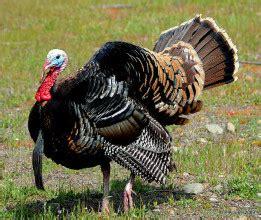 lend  wing  thanksgiving  turkeys  humane