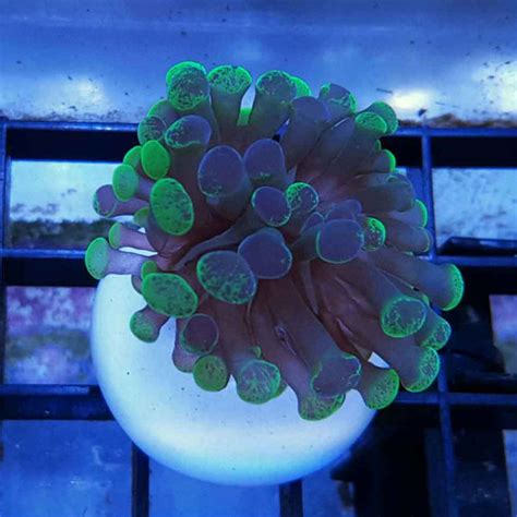 marbled hammer coral frag euphyllia sp thatpetplacecom