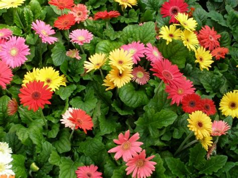 Gerbera Garten Pflanzen by Gerbera Blume Mit Vielen Sch 246 Nen Farbvarianten