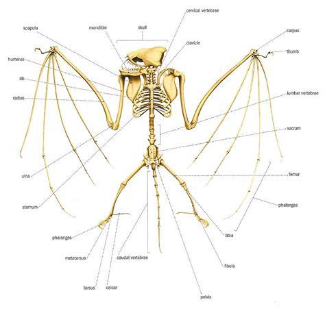 labelled diagram of a bat bat skeleton jpg 1235 215 1183 creature ref dragons