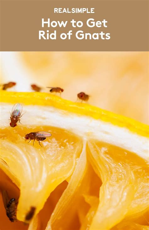 how to get rid of gnats home tips and tricks and insects