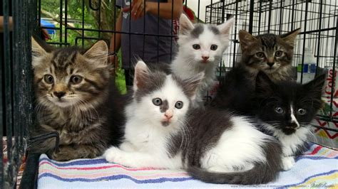 Litter Of Kitties by Cats For Adoption Prada And Kittens The Creative Cat
