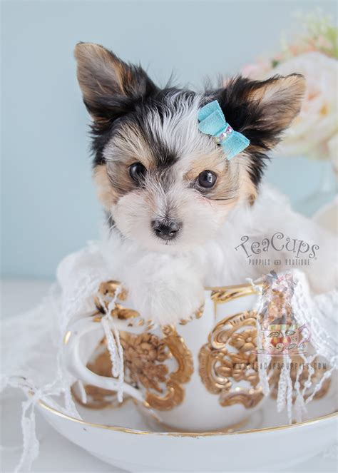 yorkie puppies for sale in fl teacup parti terrier puppies florida teacups