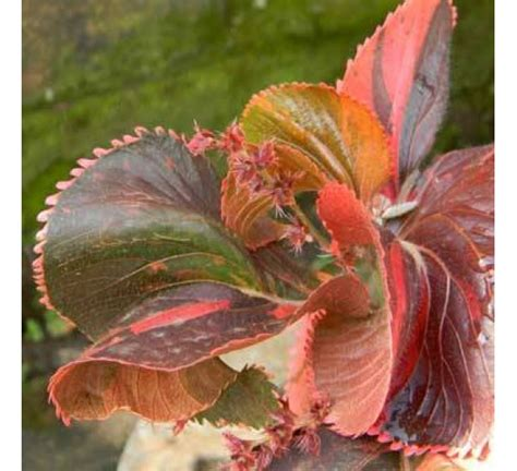 buy acalypha copper plant   cheap price indias
