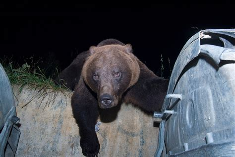 bears couch bears turn into couch potatoes thanks to fast food binges