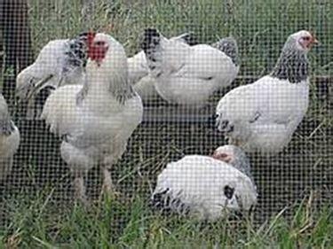 alimentazione polli allevamento polli ruspanti galline
