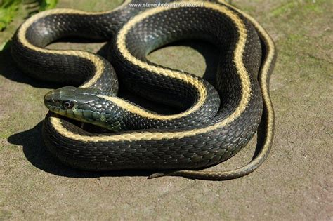 Garden Snake With Yellow Stripe Thamnophis Atratus Atratus Steven Bol Garter Snakes