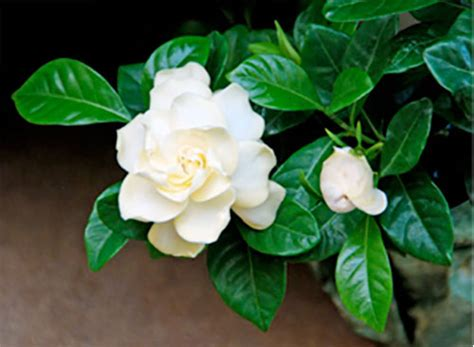 most fragrant indoor plants indoor plants with fragrant flowers whav