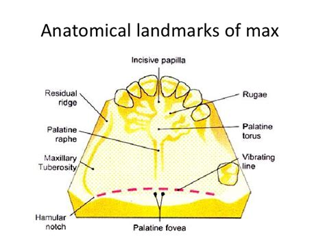palate diagram anatomy and histology of palate