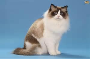 Best Sofa For Cats 65 Sweet Ragdoll Cat Photos Golfian Com