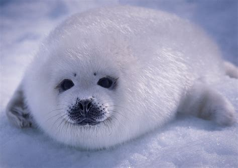 Seal Pop Seal Jus harp seal pup on photo by aqqa rosing asvid
