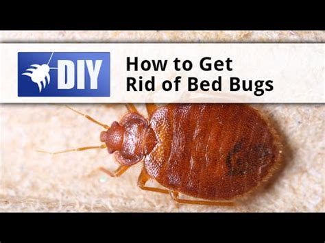 how to eliminate bed bugs how to get rid of bed bugs quick tips youtube