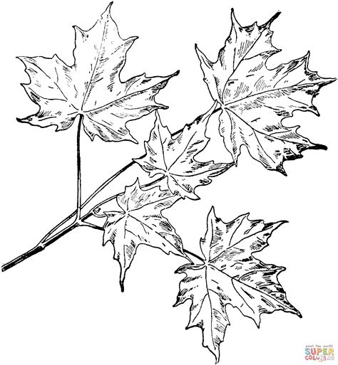 coloring pages maple leaves drawn leaves maple tree pencil and in color drawn leaves
