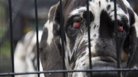 great dane puppies indiana great dane puppy mill busted in rural new hshire wgme