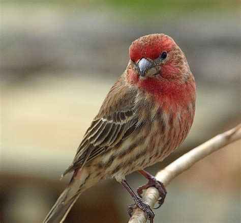 muddy sneakers house finch or purple finch