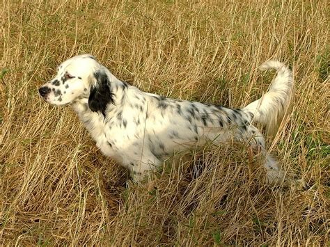 english setter girl dog names english setter in the field photo and wallpaper beautiful