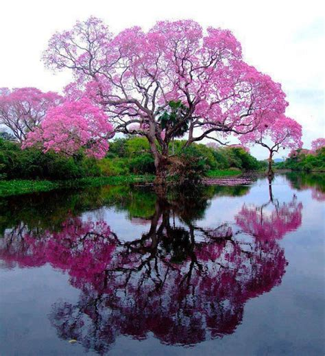 pretty trees medicinal properties of beautiful tabebuia trees