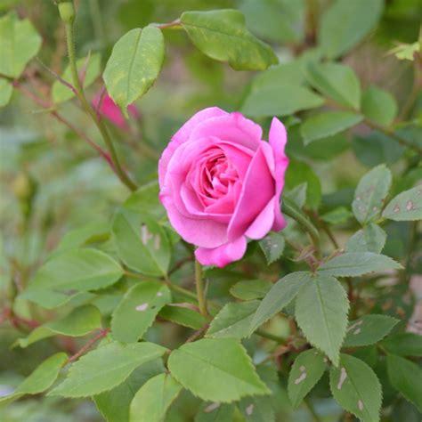 Home Decorating Book Old Blush China Rose Rosa Chinensis Cv