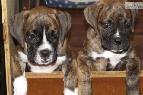 boxer puppies for sale in raleigh nc and boxer puppy for sale near raleigh durham ch carolina